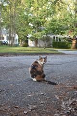 Gracie Jo (rootcrop54) Tags: graciejo cat friend female dilute calico street neighbor neighbors neko macska kedi 猫 kočka kissa γάτα köttur kucing gatto 고양이 kaķis katė katt katze katzen kot кошка mačka gatos maček kitteh chat ネコ