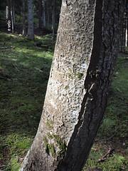 732 Camí de la Ribera - 04 (e_velo (εωγ)) Tags: 2018 catalunya cerdanya summer estiu verano forest bosques boscos trees árboles arbres