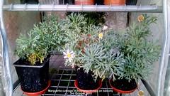 Marguerite cuttings in mini-greenhouse on balcony 3rd October 2018 (D@viD_2.011) Tags: marguerite cuttings minigreenhouse balcony 3rd october 2018
