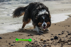 Yay! Beach!! (sharongellyroo) Tags: ki dodge rescue bordercollie beach holidays wintertononsea norfolk seaside