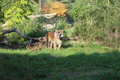 Tiger Burgers Zoo Arnhem (Las Cuentas) Tags: zoo tiger tierpark gras natur wild wildlife zähne zeigen canon eos 4000d raubkatze animal tier teeth
