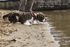 Haiku 5/365 (NedraI) Tags: adirondacks autumn october fall dog pet lakeshore water sand beach englishspringerspaniel springerspaniel lake shore leaves panic panicky scared haiku poem poetry haiku365