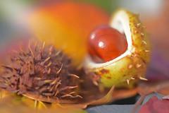 Your Conkers... (KissThePixel) Tags: autumn autumnlight autumncolours autumnwalk beautiful beauty beautifulday october light bokeh macro closeup nikon nikond750 macromonday monday conker nature seed shell warm tones warmtones