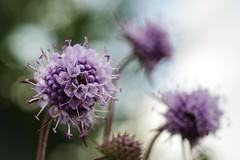 _IMG2434 (angel.doychinov) Tags: helios442 pentax k1 m42 flower nature bokeh macro manualfocus