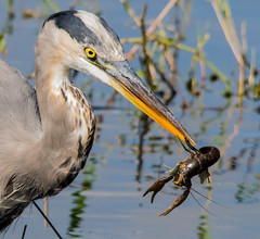Lunch Time! (ap0013) Tags: greatblueheron crayfish nature wildlife myakka river state park sarasota florida heron eating