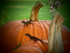 A Look at Autumn Through a Mirror! (jlynfriend) Tags: phonephoto lg afternoon pumpkin tree lawn lizard mirror garden
