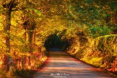 Autmnal road (Mimadeo) Tags: autumn autumnal fall road lane path forest mood moody landscape magic dreamy tree summer nature woods fantasy atmosphere fairytale tunnel beautiful sunlight sunshine light sunny daylight bright vivid vibrant