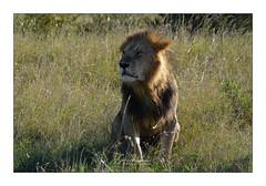 BOXERNOSE Masaï Mara (Claire PARMEGGIANI Photos) Tags: africa africangallery africanlife africanwildlife bigfive eastafrica gamedrive kenya lions safari tsavo wildlife bigcats wildafrica
