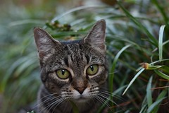 Camille in the Monkey Grass (liriope) (rootcrop54) Tags: camille female mackerel tabby huge green eyes monkeygrass lilyturf liriope neko macska kedi 猫 kočka kissa γάτα köttur kucing gatto 고양이 kaķis katė katt katze katzen kot кошка mačka gatos maček kitteh chat ネコ