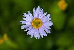 Flower (iatassi) Tags: banffnationalpark forest wilderness iatassi iatassiphoto copyright albertacanada canon5dmarkiv closeup