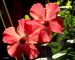 feeling tropical (Judecat (back on the farm)) Tags: flowers mygarden hibiscus nature