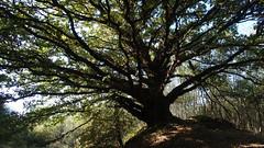 Oak on the knoll (Nick:Wood) Tags: tree pendunculateoak englishoak quercusrobur nature knoll cuttlepoolnaturereserve warwickshirewildlifetrust templebalsall