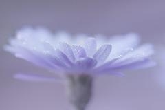 perles florales (christophe.laigle) Tags: christophelaigle fleur macro pluie nature flower fuji drops gouttes purple xpro2 xf60mm mauve