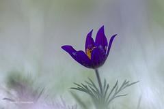 anémone pulsatille (vyclem78) Tags: anemonepulsatilla anémonepulsatille fleur fleurs printemps pulsatillavulgaris macrophotographie proxy sauvage nature yvetteclemenson