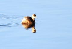 Little Grebe (grahamh1651) Tags: marazion longrockpool birds waterbirds swans mountsbay grebes