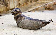 18A_1246 (Mark Ritter) Tags: seal seals macro lajolla california