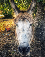 Donkey (VillaRhapsody) Tags: donkey animal farm face ears nose