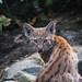 Lynx cub looking back