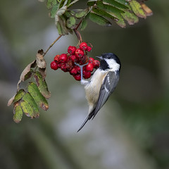 Coal tit (andywilson1963) Tags: coaltit bird wildlife nature scotland british woodland garden berries