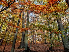 Fall colors in forest in Sopot, Poland (elnina999) Tags: forest beauty colors sopot poland scenic red path pixelphone mobilephonephotography autumn fallleaves nature leaves orange sunny outdoors relaxing calm foliage landscape