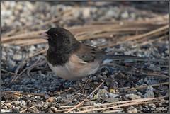 Dark-eyed Junco 3930 (maguire33@verizon.net) Tags: darkeyedjunco idyllwild junco bird wildlife idyllwildpinecove california unitedstates us