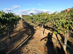 Vineyard (MelindaChan ^..^) Tags: sanbernardino usa winery hotel chanmelmel mel melinda melindachan california grape yard vineyard wine winetasting ponteinn fountain 美國 加州 america