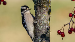 IMG_9982 (brian.a.stamper) Tags: animal bird downywoodpecker dryobatespubescens stlouis missouri unitedstates us