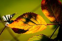 leaves (bernd obervossbeck) Tags: leaves leafs leaf blätter blatt herbstblätter herbstfarben autumnleafs autumnleaves coloursofautumn natur nature jahreszeit season fujixt1 xf55200mmf3548rlmois berndobervossbeck