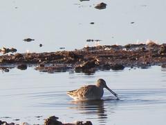 Long-billed dowitcher (marksargeant57) Tags: limnodromusscolopaceus scolopacidae bird wader wadingbird water rspb framptonmarsh rspbframptonmarsh longbilleddowitcher