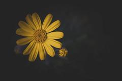 Fantastic flower 💐 ✨🌸 (Julie Greg) Tags: flower nature nautre light colours canon yellow details garden england sunflower macro