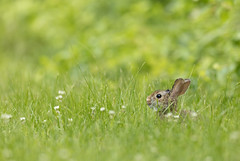 Eastern Cottontail (ShenandoahNPS) Tags: mammal headquartersemployeehousing flickr easterncottontail animal vertebrate rabbit parkheadquarters place developedarea