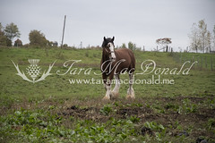 DSC_6239 (Tara MacDonald - www.TheVillagePlate.com) Tags: andrewsangster farm williamstown ontario canada southglengarry horse clydesdale taramacdonald agriculture tourism agritourism photography drafthorse rural country strathburnfarm