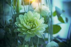 Dahlia ... ✅ (Julie Greg) Tags: flower nature dahlia colours texture details light canoneos800d