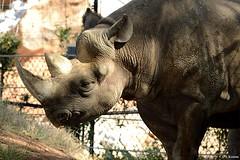 Black Rhinoceros - Diceros bicornis (HGHjim) Tags: blackrhinoceros dicerosbicornis black rhinoceros diceros bicornis hooklippedrhinoceros hooklipped