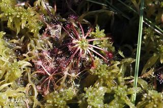Tiny Sundew Plant