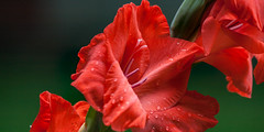 Gladiola in red to the right (Traveller_40) Tags: 300mm background beautiful beauty bloom blooming blossom bokeh botanical bright closeupmacro closeup color colorful delicate dof floral flower focal fragility fresh garden garten gladiola gladiolas gladiolen gladiolus green left macro natural petal plant red season smooth