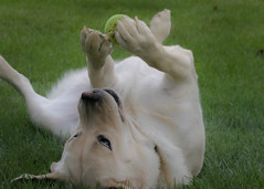 Play Time (lablue100) Tags: fun happy playing ball grass colors silly nature landscapes action objects tennisball love goofy lab labrador labradorretriever retriever yellowla