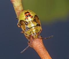 Birch Shieldbug nymph (timz501) Tags: birchshieldbug elasmostethusinterstinctus jersey nymph