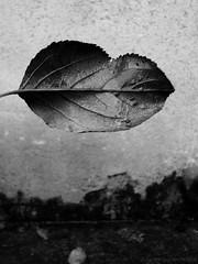 To exist (Nicole Thévenon) Tags: feuille automne noiretblanc leaf autumn blackandwhite mood mystery monochrome bw art ambiance abstract abstrait