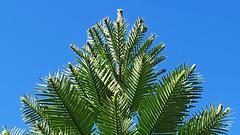 Wollemia nobilis_1 (Tony Markham) Tags: shoalhavenheadsnativebotanicgardens shoalhavenheads nativebotanicgardens botanicgarden garden australiannativeplant shoalhaven wollemianobilis wollemipine pine conifer