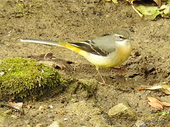 Grey Wagtail (Diko G.W.) Tags: eastyorkshire driffield greywagtail wagtails nikonp900
