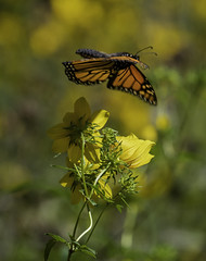 MonarchButterfly_SAF6868 (sara97) Tags: danausplexippus butterfly copyright©2018saraannefinke endangered missouri monarch monarchbutterfly nature photobysaraannefinke pollinator saintlouis towergrovepark inflight flight