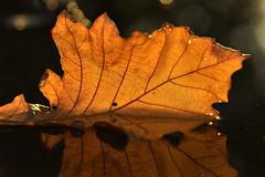 reflection (joy.jordan) Tags: leaf reflection puddle texture color light sunrise nature autumn