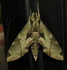 Satellite Sphinx moth (Bug Eric) Tags: animals wildlife nature outdoors insects bugs moths sphinxmoths sphingidae lepidoptera resacadelapalmastatepark brownsville texas usa satellitesphinx eumorphasatellitia northamerica september302018