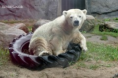 Antonia - Eisbär - Zoom Gelsenkirchen (ElaNuernberg) Tags: eisbärantonia zoomgelsenkirchen zoo zootier zooanimal polarbear eisbär ijsbeer isbjorn ourspolaire orsopolare jääkaru niedźwiedźpolarny ursusmaritimus