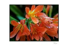Clivia (Clivia Miniata) (radspix) Tags: pro radspix clivea clivia miniata sony ilcea7r kmz 50mm industar f35