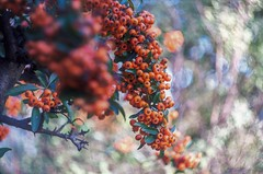 Orange Berries Helios 44-3 58 mm f/2 M42 --- pyrocantha thorns (horschte68) Tags: autumn fall herbst orangeberry berries pentaxk50 helios44358mmf2m42 bokeh swirlybokeh dof depthoffield scenery nature outdoor aussen sunsetmood laufanderpegnitz germany deutschland wideopen primelens manuallens manualfocus pyrocanthathorns