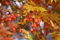 Autumn tints! (Nina_Ali) Tags: autumn berries leaves orange flora nature autumnalcolours