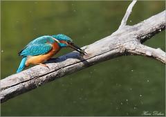 Martin a fait une bonne pêche... (Henri Dedun) Tags: martinpêcheur oiseau kingfisher bird