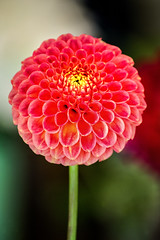 Stunning Dahlia 3-0 F LR 9-30-18 J026 (sunspotimages) Tags: flower flowers dahlia dahlias pink pinkflower pinkflowers pinkdahlia pinkdahlias nature